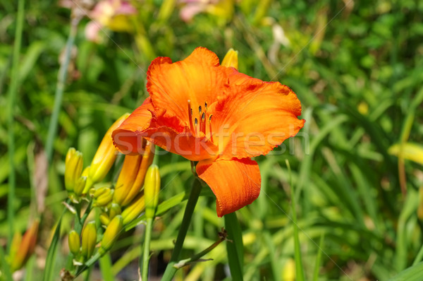 daylily of the species Wiener Licht in summer Stock photo © LianeM