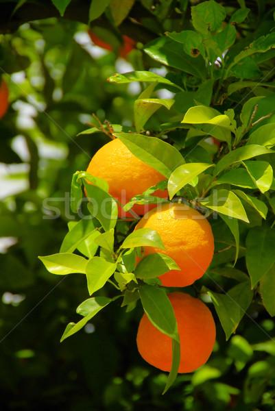 Oranje vruchten boom 10 blad vruchten tuin Stockfoto © LianeM