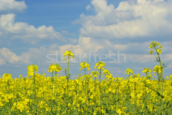 Rapeseed 36 Stock photo © LianeM