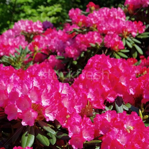 Rhododendron 24 Stock photo © LianeM