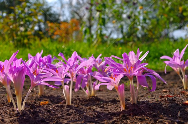 autumn crocus  Stock photo © LianeM