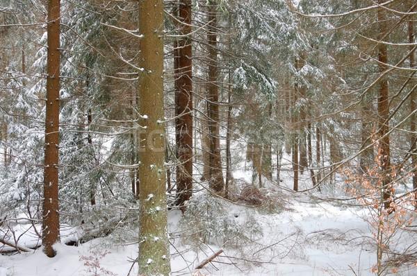 spruce forest in winter  Stock photo © LianeM