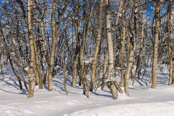 birch forest in winter  Stock photo © LianeM