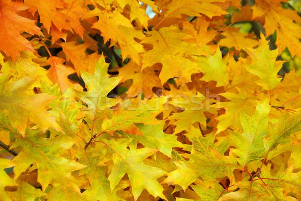 Stock photo: Eichenlaub - Oak leaf cluster 02