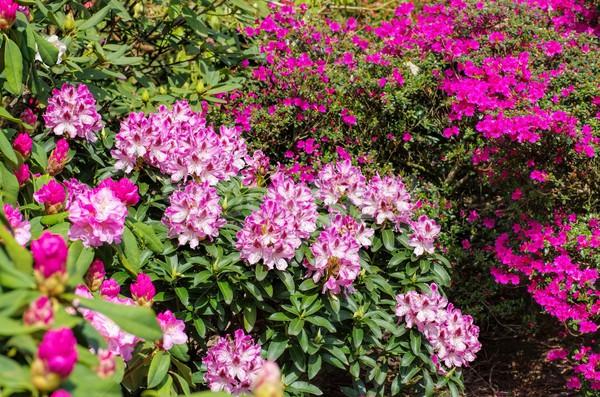 Azalea planten voorjaar bloem achtergrond groene Stockfoto © LianeM