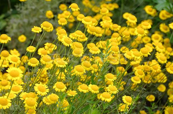 Geel kamille wildflower bed planten Stockfoto © LianeM