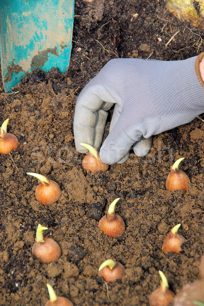 bulb planting 13 Stock photo © LianeM