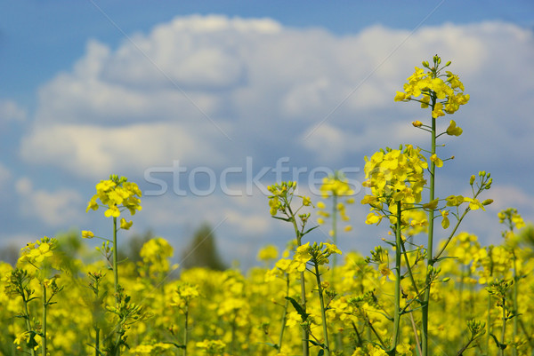 Rapeseed 31 Stock photo © LianeM