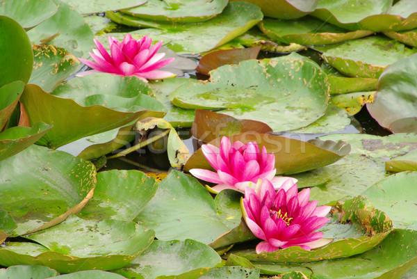 water lily 35 Stock photo © LianeM