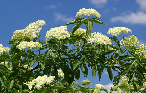 Holunder Himmel Blume Wolken grünen Wolke Stock foto © LianeM
