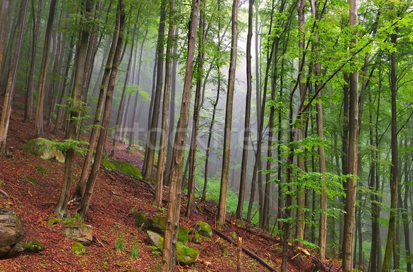 beech forest in Harz Mountains  Stock photo © LianeM