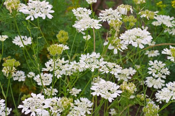 белый диких цветов лист зеленый растений Сток-фото © LianeM