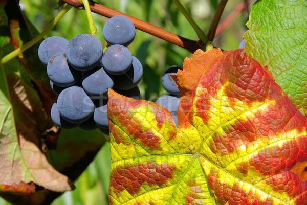 grape red 18 Stock photo © LianeM
