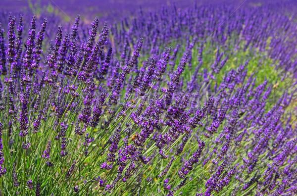 Lavendel veld bloemen schoonheid zomer veld groene Stockfoto © LianeM