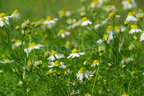 camomile 15 Stock photo © LianeM