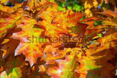Oak leaf cluster 05 Stock photo © LianeM