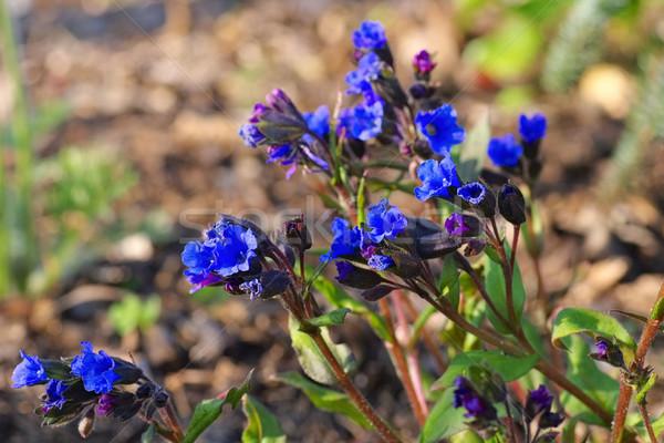 Fajok kék virág természet Stock fotó © LianeM