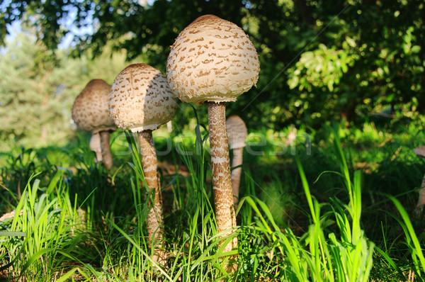 Stock photo: Parasol mushroom 12