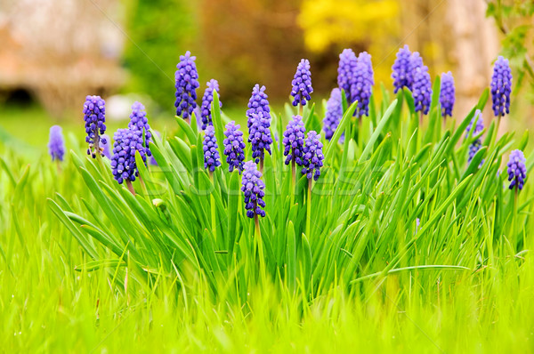 grape hyacinth 01 Stock photo © LianeM