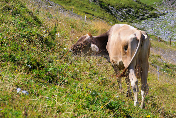 alp cow 17 Stock photo © LianeM