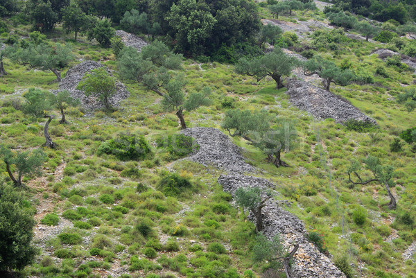 Olijfolie bosje 18 boom veld steen Stockfoto © LianeM