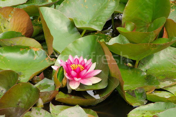 water lily 34 Stock photo © LianeM
