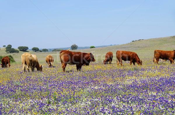 cow 55 Stock photo © LianeM