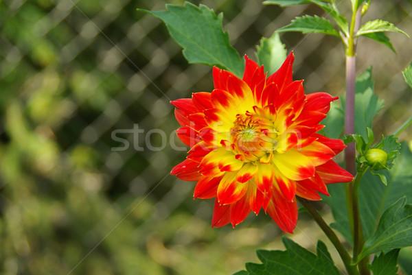 Dalia fiore natura foglia verde rosso Foto d'archivio © LianeM