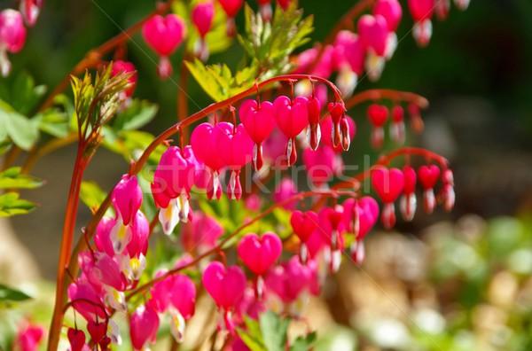 Kanama kalp sevmek bahçe yaz kırmızı Stok fotoğraf © LianeM