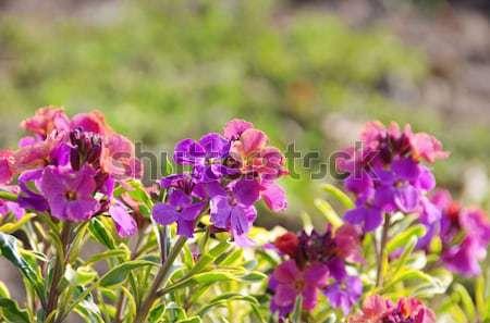 Geranium  Stock photo © LianeM