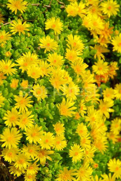 Delosperma yellow 02 Stock photo © LianeM
