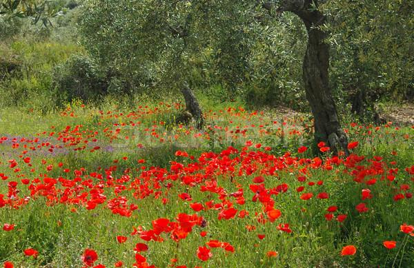 Papoula oliveira flores árvore campo vermelho Foto stock © LianeM