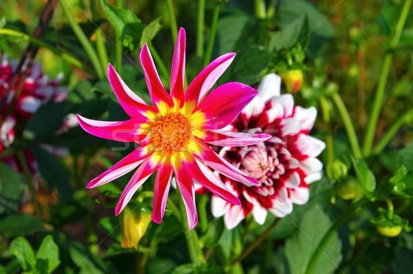Dalya üzüm beklentiler çiçek doğa yaprak Stok fotoğraf © LianeM