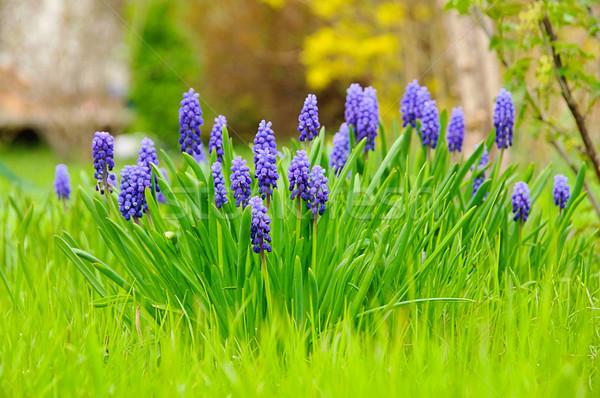 grape hyacinth 02 Stock photo © LianeM