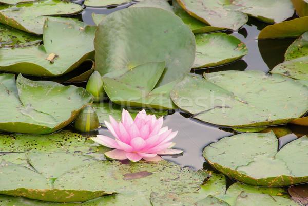 water lily 33 Stock photo © LianeM
