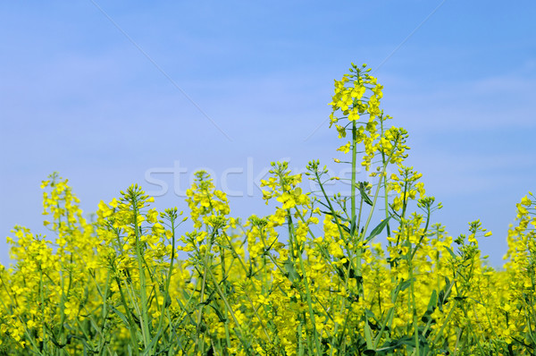 Rapeseed 47 Stock photo © LianeM