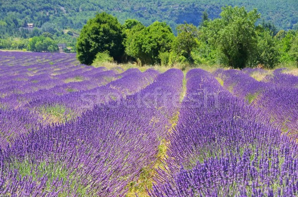 Campo de lavanda 22 flores beleza verão campo Foto stock © LianeM