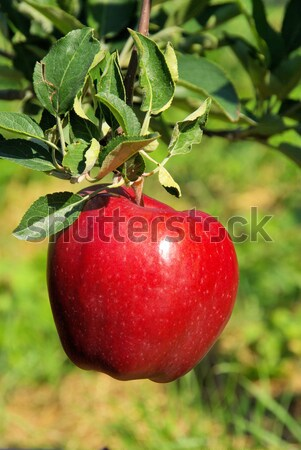 apple on tree  Stock photo © LianeM