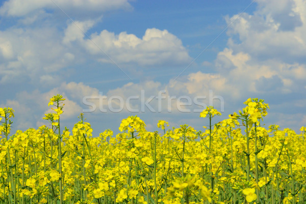 Rapeseed  Stock photo © LianeM