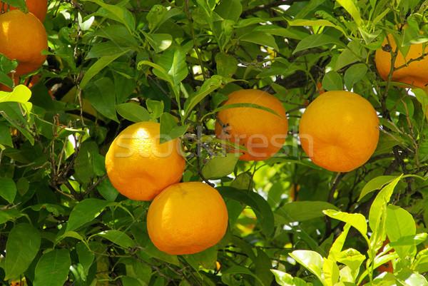 orange fruit on tree 06 Stock photo © LianeM