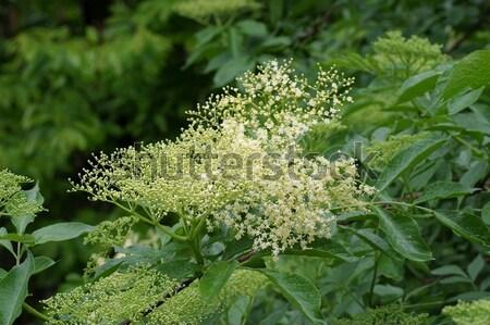 Aîné fleur printemps blanche printemps usine Photo stock © LianeM