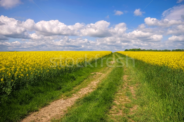 Stock photo: Rape field with dirt road