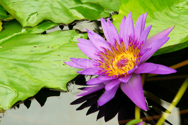 water lily 15 Stock photo © LianeM