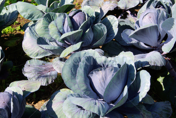 red cabbage field 01 Stock photo © LianeM