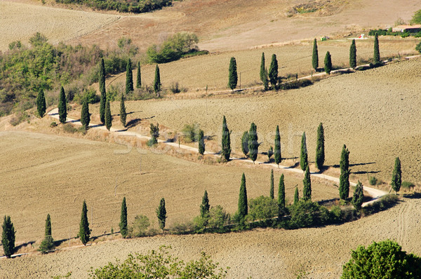 サイプレス 曲線 秋 ツリー 自然 フィールド ストックフォト © LianeM