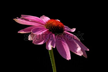 Purple Coneflower  Stock photo © LianeM