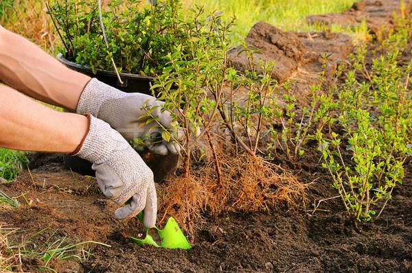 planting a hedge 01 Stock photo © LianeM