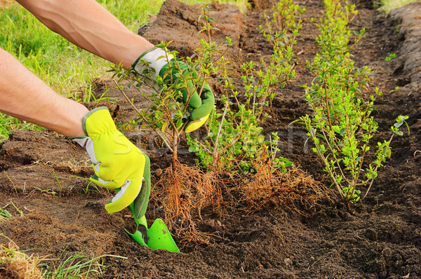 planting a hedge 02 Stock photo © LianeM
