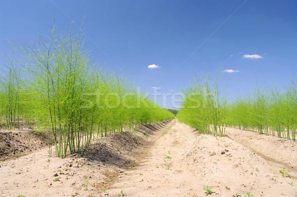 asparagus field 18 Stock photo © LianeM