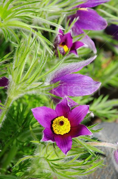 pasque flower 14 Stock photo © LianeM